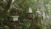 Bolivie: la fumigation des champs de coca menace les abeilles