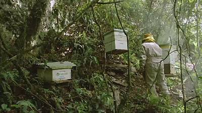 Bolivia's bees threatened by coca farmers' pesticides