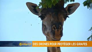 Giraffe species threatened with extinction [The Morning Call]