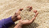 Coffee price slump leaves farmers earning less than a cent a cup