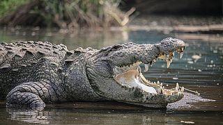 En Indonésie, une femme se fait dévorer par un crocodile apprivoisé