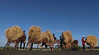 Ethiopia confirms legal teff 'war' with Dutch company over patent