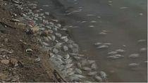 Fish perish en masse in Libyan lake