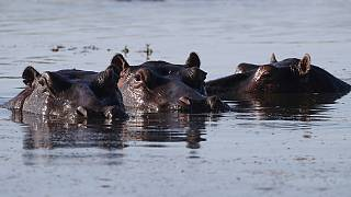 Anger over Zambia's plans to slaughter 2,000 hippos