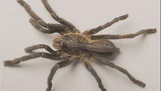 """Une nouvelle mygale (araignée) """"à corne"""" découverte en Angola"""