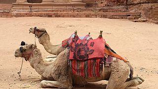Les combats sanglants de chameaux au Pakistan