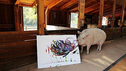 Pigcasso, la truie qui peint en Afrique du Sud [No Comment]