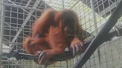 Wounded Orangutan rescued in Indonesia