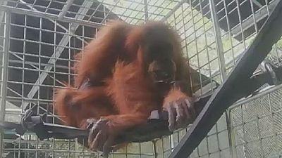 Un orang-outan blessé sauvé en Indonésie