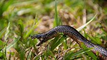 Afrique : résoudre le casse-tête des morsures de serpents venimeux