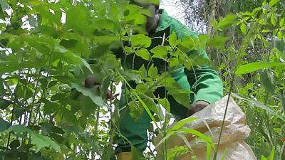 Cameroun : l'agriculture pour favoriser l'emploi des jeunes