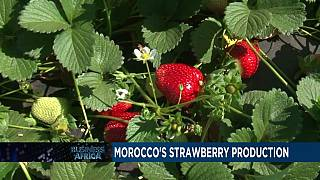 Morocco's strawberry production [Business Africa]