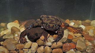 """Bolivie : """"Roméo"""", une grenouille solitaire qui rencontre sa """"Juliette"""""""