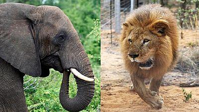 Afrique du Sud : piétiné par un éléphant, dévoré par des lions, le triste sort d'un présumé braconnier