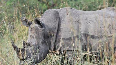 Afrique du Sud : 167 cornes de rhinocéros saisies