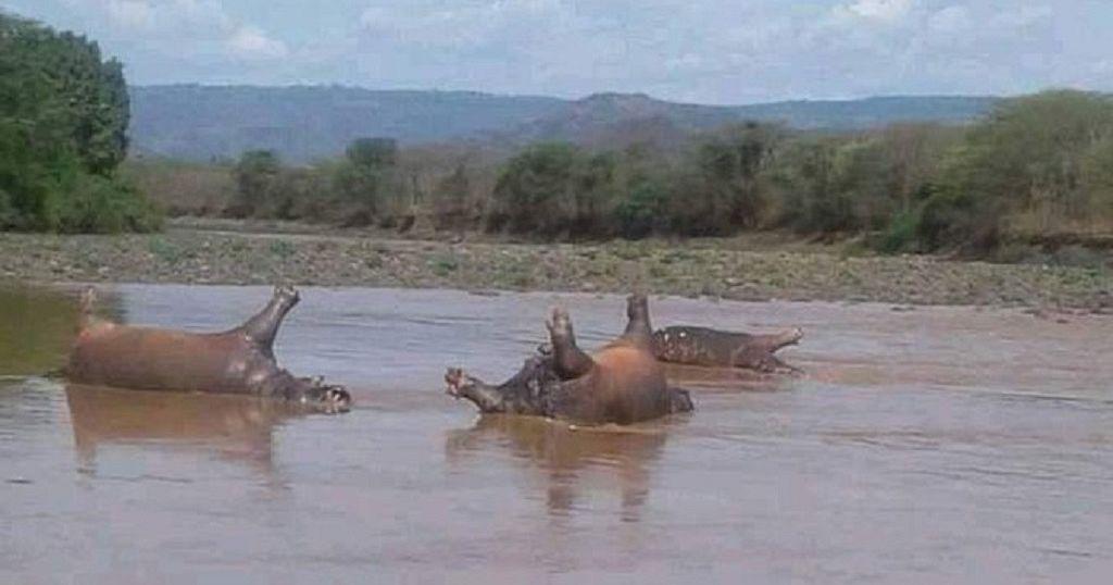 Over 20 hippos killed in Ethiopian park: Anthrax, toxic algae suspected