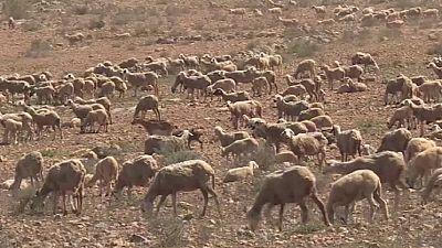 Maroc : tension entre éleveurs et agriculteurs