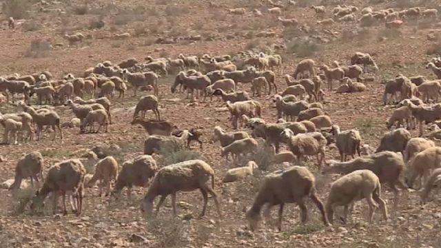 Maroc: tension entre éleveurs et agriculteurs
