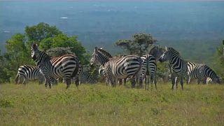 Kenya :  un laboratoire technologique pour protéger les espèces menacées d'extinction