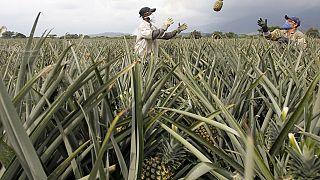 Au Cameroun, des producteurs d'ananas aux abois