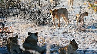 14 escapee lions in South Africa return to their habitat