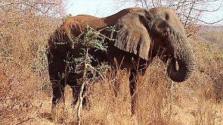 Le Zimbabwe veut vendre son stock d'ivoire pour payer ses réserves d'éléphants