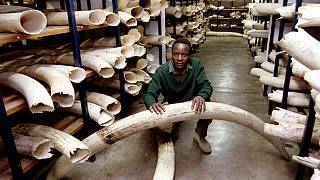Zimbabwe wants to sell $300m ivory to fund conservation