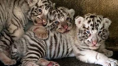 Tunisian officials intercept smuggled white tiger cubs
