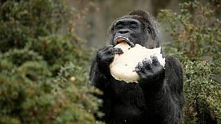 $22,000 zoo funds stolen by robbers not eaten by gorilla - Nigeria governor