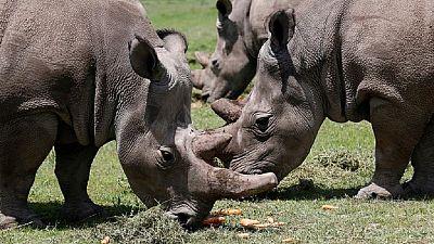 Rwanda's Akagera park hosts 5 endangered rhinos relocated from Europe