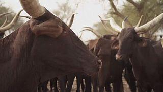 Nigeria : le boom du marché du bétail