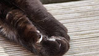 L'onyxectomie, cette pratique décriée qui consiste à ''dégriffer'' les chats