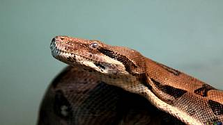 Snake disrupts parliamentary session in Nigeria