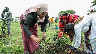 Éthiopie: plus de 350 millions arbres plantés en une journée
