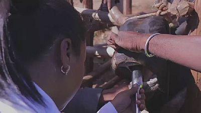 Madagascar : des puces électroniques pour le bétail