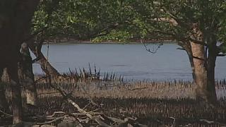 Sea levels threaten Australian mangroves