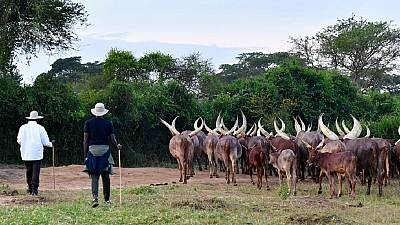 Africa's cattle: Ugandan certificates, Malagasy trackers, Nigerian clashes