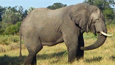 Journée mondiale de l'éléphant: haro sur le traumatisme des pachydermes