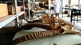 Le Kenya conserve le fossile d'un grand prédateur d'Afrique