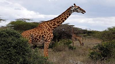 Giraffes 'stroll' towards global protection amid extinction fears