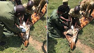 Kenya social media outrage saves giraffe with bone tumour