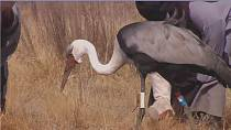 South Africa's endangered crane population on the rise