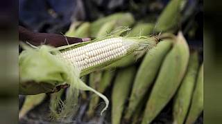 Zambia introduces maize price cap to make it affordable