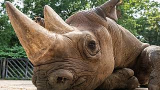 Scientists fertilize eggs of endangered Rhino only found in Kenya