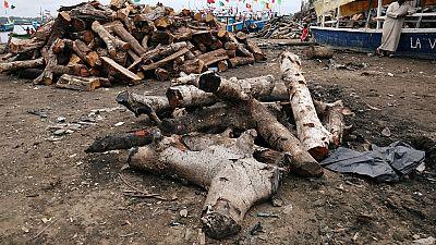 RDC : inquiétude autour du pillage d'un bois menacé d'extinction