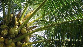 Nigeria : les cocotiers en voie de disparition (ministère)