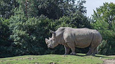Rhinocéros blanc du Nord : sauvetage in extremis