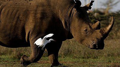 Success: Northern White Rhino embryos created
