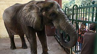 Mort du dernier éléphant d'Afrique au zoo de Guizeh