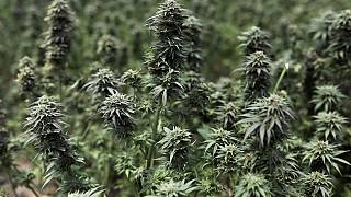 Moroccco takes up foreign marijuana hybrids